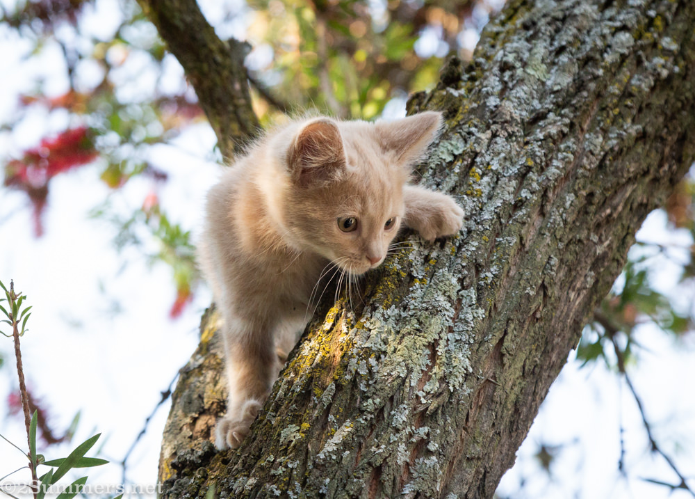 Trixie in a tree as a kitten