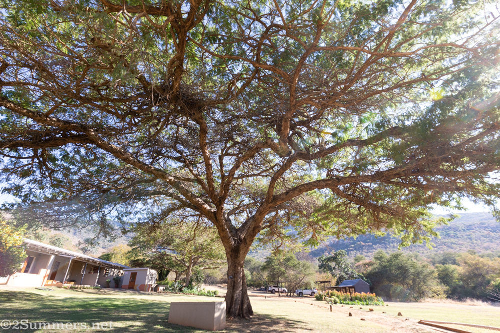 Acacia tree at Madi a Thavha