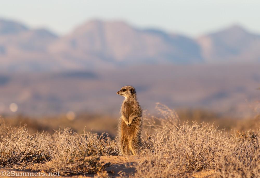 First meerkat emerges.