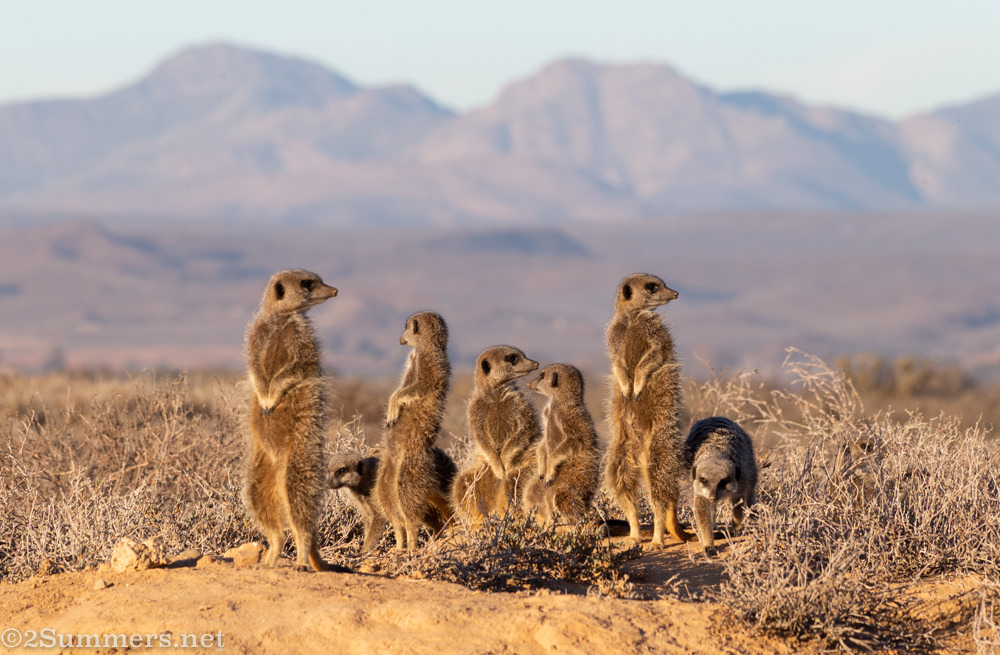 Monday Morning With a Mob of Meerkats