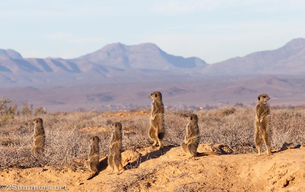 Panoramic meerkats.