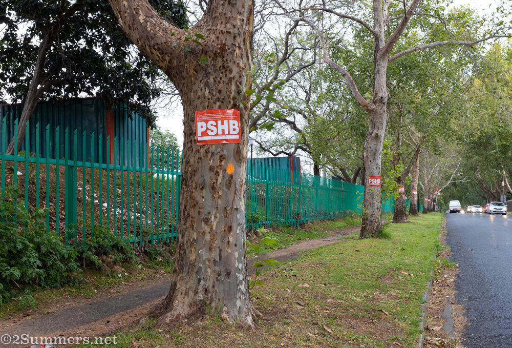 PSHB-infested trees on 11th Avenue