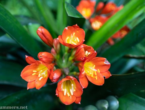 Clivias blooming on Day 8 of the South African lockdown