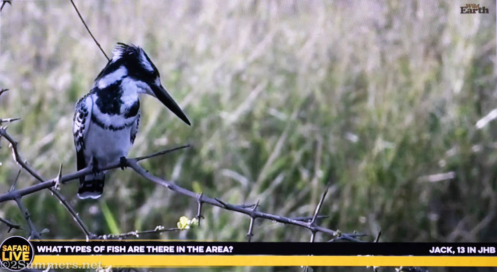 Pied kingfisher on YouTube