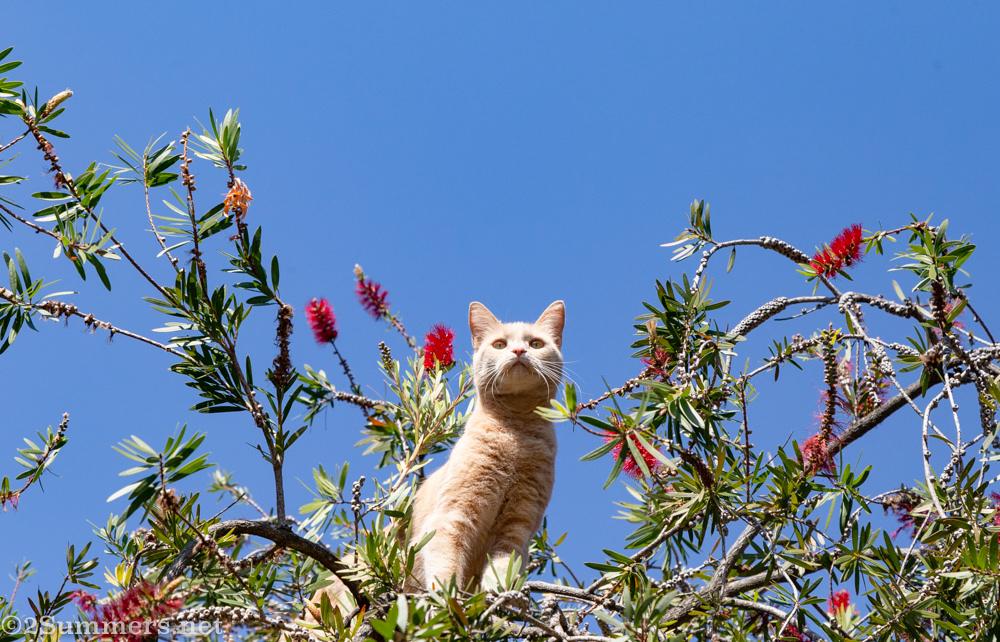 Trixie in the bottlebrush tree