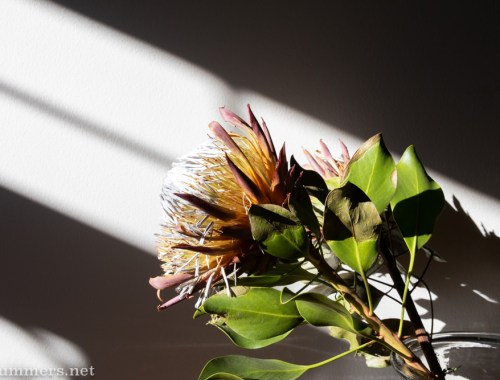 Love life dying protea