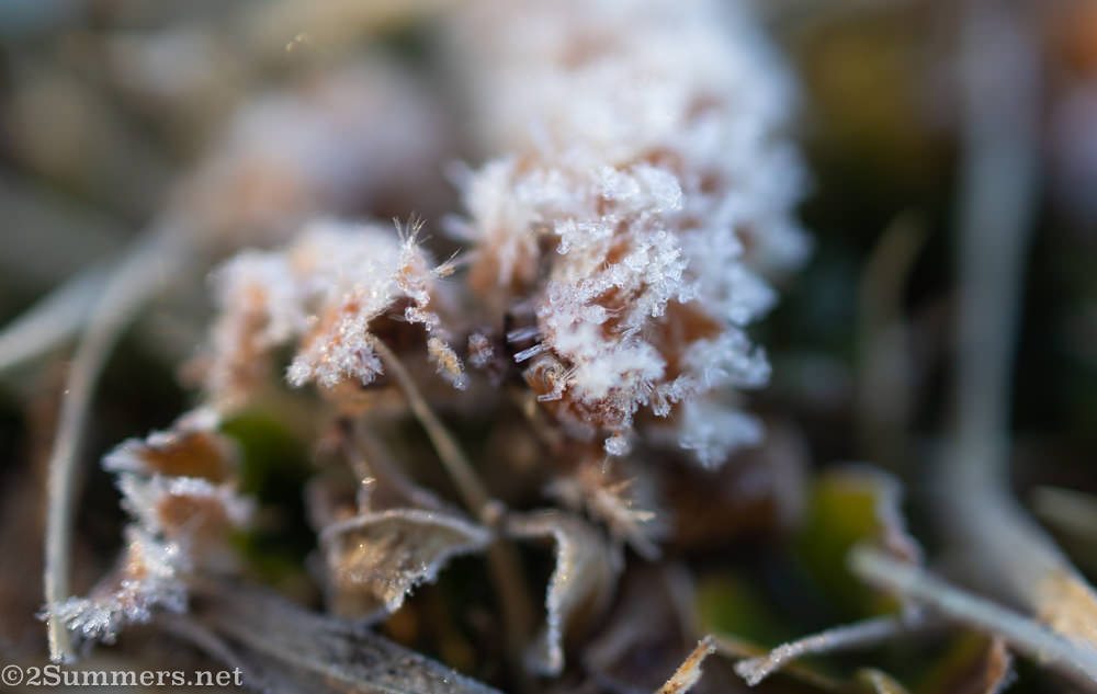 Frosted flowers in Emmarentia