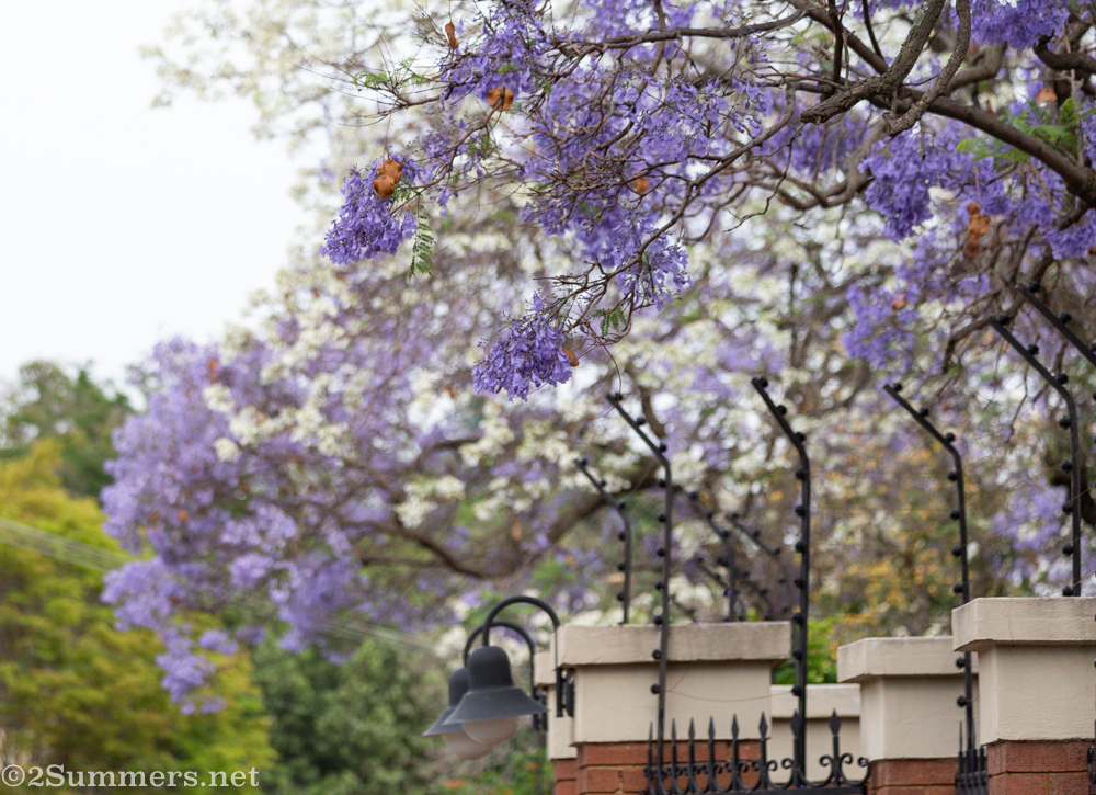 White and purple jacarandas on Herbert Baker Street in Pretoria