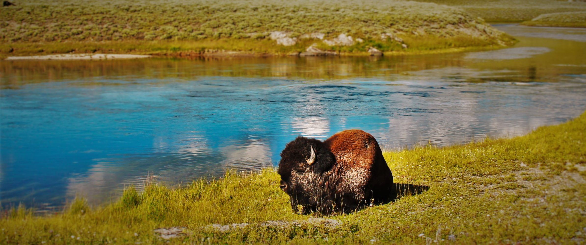 Bison Resting by Yellowstone River 1 header