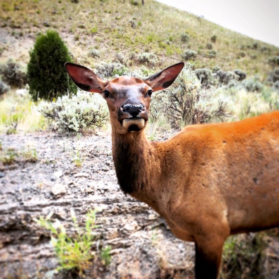 Elk Cow Yellowstone 1