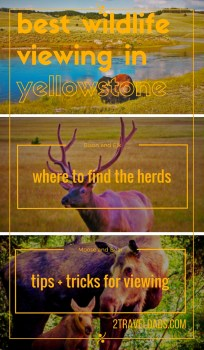 Tips and locations for the best wildlife viewing in Yellowstone National Park...possibly the best wildlife experiences in the USA! Moose, bears, bison... 2traveldads.com