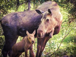 Baby-Moose-with-Mama-Yellowstone