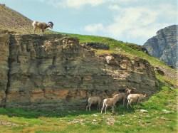 Bighorn Sheep in Glacier National Park 1