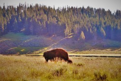 Bison by Yellowstone River Nez Perce Ford