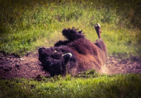 Bison-rolling-in-Dirt-Yellowstone