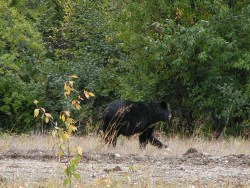 Black Grizzly Running Yellowstone