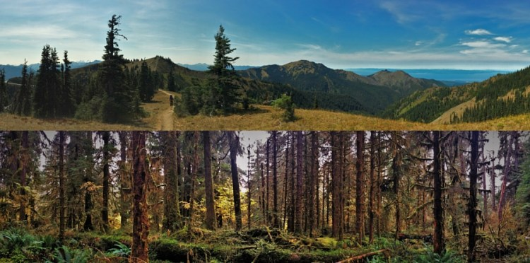 Contrasting Trails in Olympic National Park