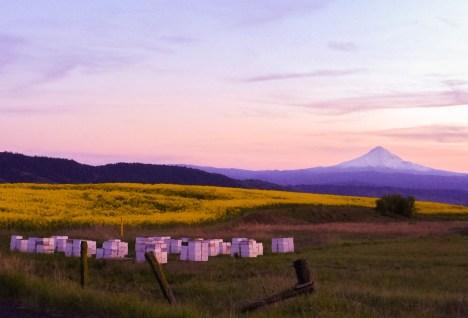 Mt Hood honey boxes canola field sunset
