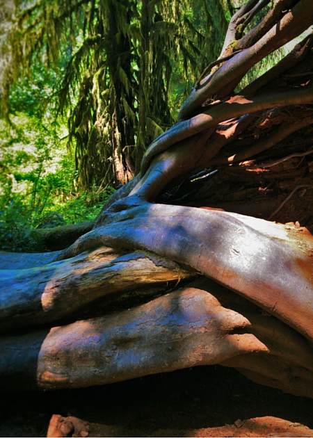 Tree Roots at Hoh Rain Forest in Olympic National Park 2traveldads.com (1)