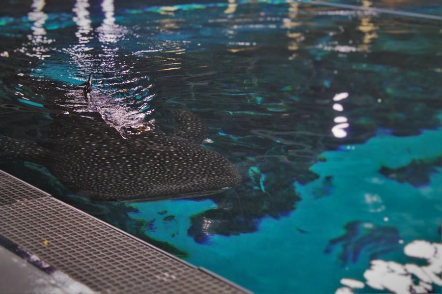Whale Shark Tank from Above Behind the Scenes Georgia Aquarium 2
