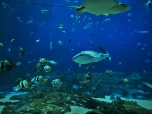 Whale Shark in Georgia Aquarium 4
