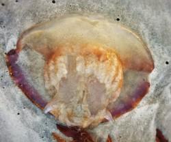 Washed up Jellyfish on Jacksonville Beach
