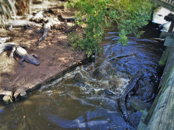 Thrashing Gators in Swamp at St Augustine Alligator Farm 1