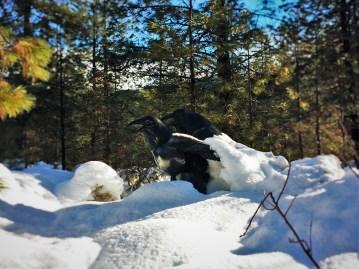 Raven Sculpture in Snow at Sleeping Lady Resort Leavenworth WA 1
