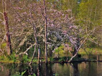Blossoming Tree and ducks by still pond at Bloedel Reserve Bainbridge Island 1