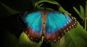 Blue Butterfly at the Butterfly Pavilion Denver Colorado 3