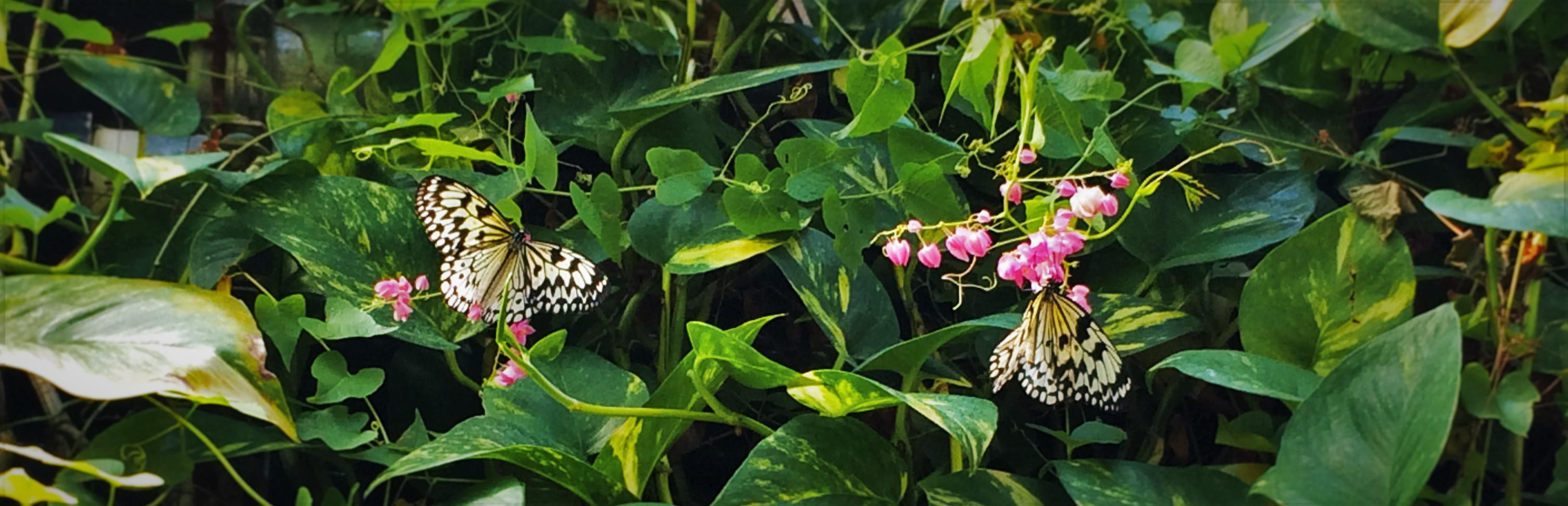 Butterflies at the Butterfly Pavilion Denver Colorado 1