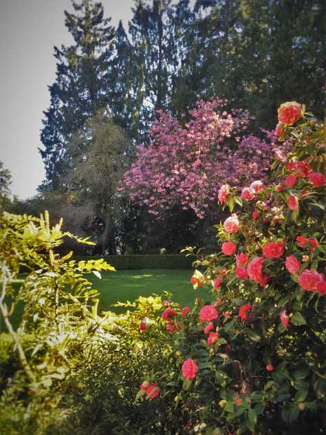 Camilia bush in bloom at Bloedel Reserve Bainbridge Island 1