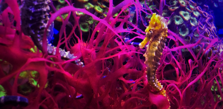 Denvers Downtown Aquarium seahorses header 2traveldads.com