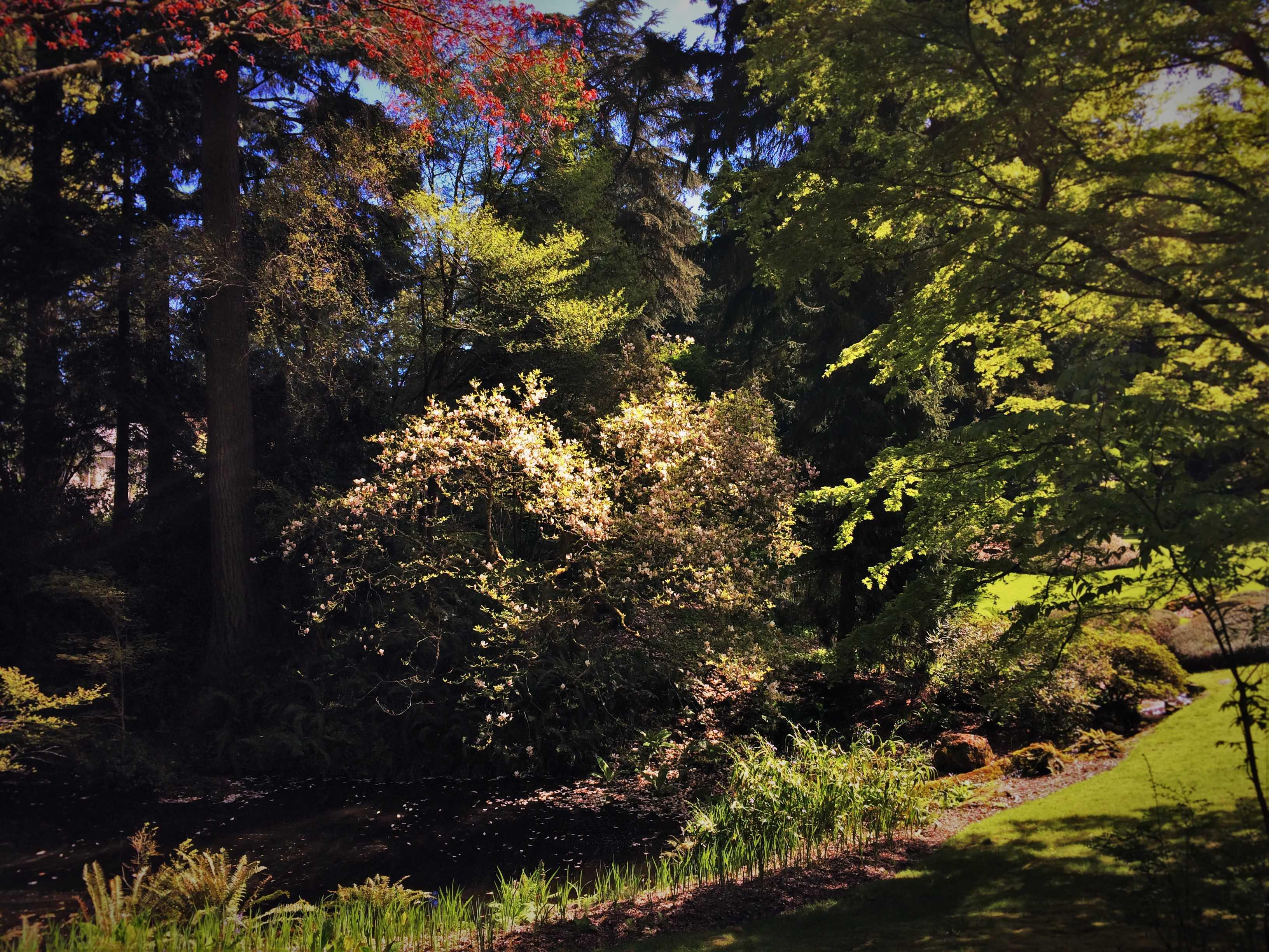 Magnolia Tree in Japanese Garden with Reflections at Bloedel Reserve Bainbridge Island 2