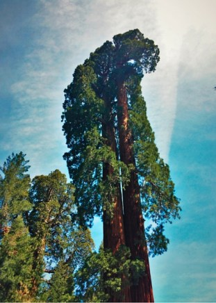 Giant Sequoia in Giant Forest in Sequoia National Park 2traveldads.com