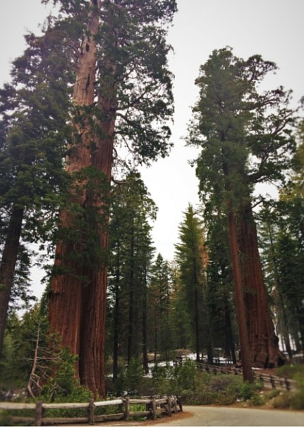 Giant Sequoias in Grant Grove Kings Canyon 2traveldads.com