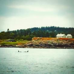 Orca Whales off San Juans