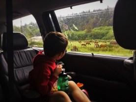 Watching elk on the Redwood Highway