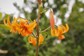 Tiger LIly on Trinidad Head Lighthouse trail