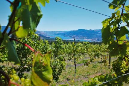 Columbia River Gorge Vineyard with Hood River beyond 1