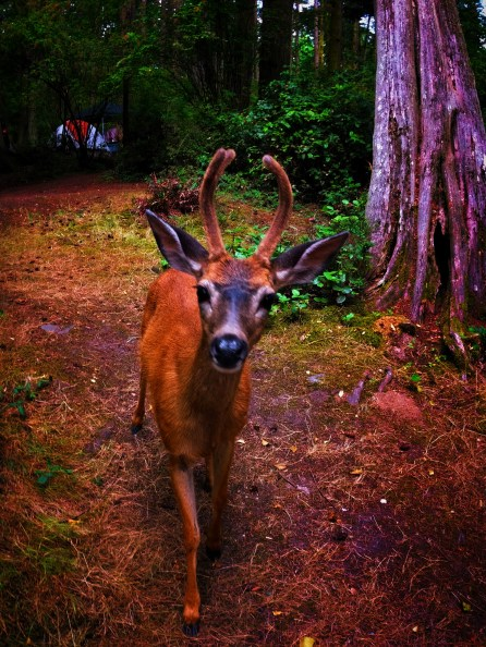 Young Deer Buck camping at Washington Park Anacortes 1