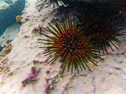 Sea Urchins while snorkeling in Labadee Haiti 2