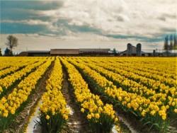 Daffodil Fields La Connor Skagit Valley 1