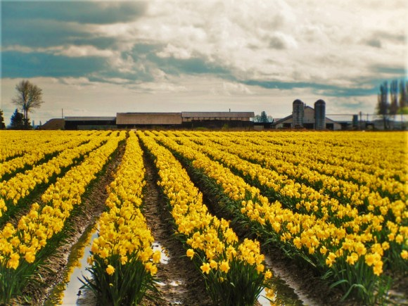 Daffodil Fields La Connor Skagit Valley 1