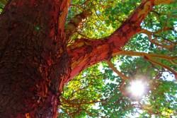 Madrona Tree at Inn at Ship Bay Orcas Island 1