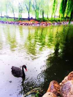 Black swan and reflecting pond at Tang Paradise Xian Imperial Garden 1