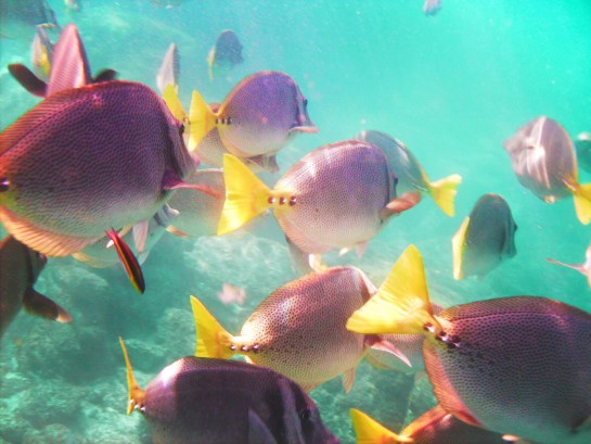 School of Surgeon fish while Snorkeling in Cabo San Lucas
