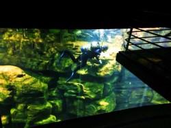 Diver in River tank at Tennessee Aquarium 1
