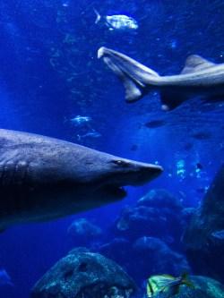 Sand Shark at Ocean Journey Tennessee Aquarium 4