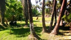 Cows in Estuary at San Jose del Cabo BCS Mexico 2